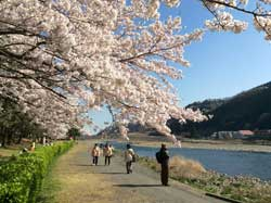 写真:相模川と桜(相模原と言えば…やはり一級河川の相模川でしょうか)